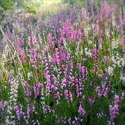 Mauve Photos - Beautiful Wild Heather  by Alexandra Cook