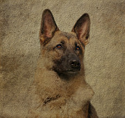 Alsatian Photos - Beautiful Yahtzee by Sandy Keeton