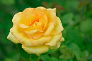 Wet Rose Prints - Beautiful Yellow Rose Print by Atiketta Sangasaeng