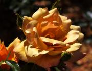Russet Prints - Beautiful Yellow Rose Belle Epoque Print by Louise Heusinkveld
