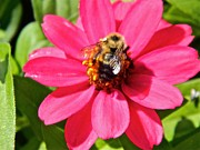 Zinnias Photos - Beauty and the Buzz by Randy Rosenberger