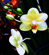 Orchids Art - Beauty by Mindy Newman