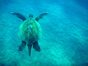 Green Sea Turtle Prints - Beauty of The Sea Print by Bob Christopher