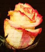 Cream Roses Prints - Beauty of words Print by Cathie Tyler