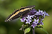 Black Swallowtail Prints - Beauty on Wings.. Print by Nina Stavlund