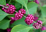 Purple And Green Posters - Beautyberry Bush Poster by Carol Groenen