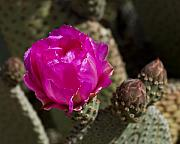 Cactus Flowers Photos - Beavertail Flower by Kelley King