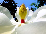 White Magnolias Posters - Bed of Magnolia Poster by Karen Wiles