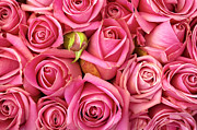 Pink Roses Prints - Bed Of Roses Print by Carlos Caetano