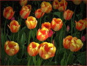 Mikki Cucuzzo Metal Prints - Bed of Tulips Metal Print by Mikki Cucuzzo