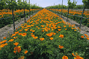Grapevines Photos - Beds Of Orange California Poppies Bloom by Marc Moritsch