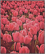 Pink Tulips Framed Prints - Bedtime In Holland Framed Print by Odd Jeppesen