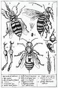 1630 Prints - Bee Anatomy Historical Illustration Print by SPL and Photo Researchers