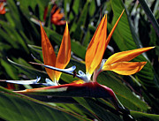 Strelitzia Art - Bee and Bird of Paradise by Kevin Smith