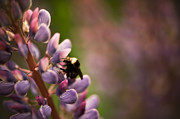 Close Focus Floral Prints - Bee and Lupine Print by Wenata Babkowski