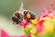 Bees Photos - Bee At Work by Ralf Kaiser