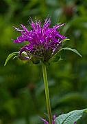 Balm Prints - Bee Balm Beauty Print by Robert Pilkington