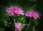 Jason Neely Acrylic Prints - Bee Balm Acrylic Print by Jason Neely