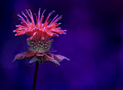 Fuscia Posters - Bee Balm Poster by Shelley Neff