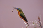 Kenya Photos - Bee Eater and Dragonfly by Sandra Bronstein