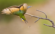 Hunting Bird Metal Prints - Bee-eater Metal Print by Basie Van Zyl