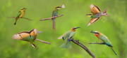 Butterfly In Flight Prints - Bee-eater Collage Print by Basie Van Zyl