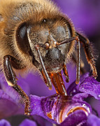 Feeding Photographs Prints - Bee Feeding Print by Louis B