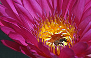 Bee Hiding In Pink Waterlily Print by Becky Lodes