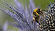 Beeswax Posters - Bee on a Scottish Thistle Poster by Zoe Ferrie