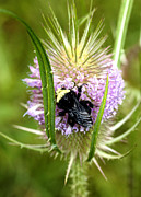 Thistles Photos - Bee on a Thistle by Nick Gustafson
