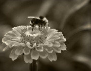 Monotone Prints - Bee on a Zinnia in Sepia Print by Marion McCristall