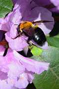 Bee On Azalea Bloom Print by Lisa  Phillips