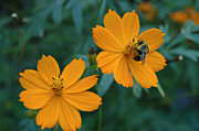 Plants From My Garden - Bee on Cosmos Flower  by Tom Wurl