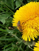 Invasive Species Photo Prints - Bee on Dandelion Print by Joshua House