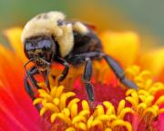Pollenate Posters - Bee on flower Poster by John Mueller