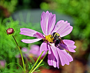 Susan Leggett Photo Prints - Bee on Flower Print by Susan Leggett