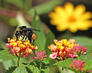 Sunshine Louisiana Framed Prints - Bee on Lantana Flower Framed Print by Luana K Perez