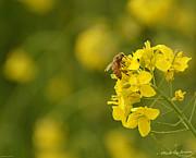 Mick Anderson - Bee on Mustard