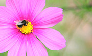 Summer Photos - Bee On Pink Flower by Susan Wall