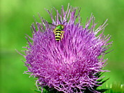 Corinna Garza - Bee on Pink Thistle