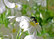White Flower Photos - Bee on Primrose by Kaye Menner