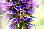 Bee Photographs Posters - Bee on Purple Pride of Madeira Flowers . 7D14869 Poster by Wingsdomain Art and Photography