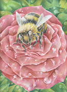 Dew Drawings Posters - Bee On Rose Poster by Charity Goodwin