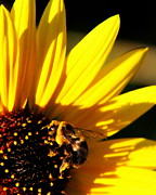 Floral Photographs Posters - Bee on Sunflower Poster by Tam Graff