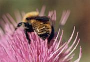Collects Photo Framed Prints - Bee on Thistle 102 Framed Print by Diane Backs-Mancuso