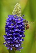 Fauna Originals - Bee Purple by Arthur Bohlmann
