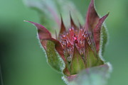 Sun On Flowers - Beebalm Bud by Lynn-Marie Gildersleeve