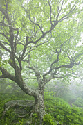 Craggy Gardens Framed Prints - Beech at Craggy Framed Print by Rob Travis