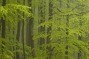 German Culture Prints - Beech Forest (fagus Sylvatica), Fresh Green Leaves, Fog After Heavy Rain, Spessart, Bavaria, Germany Print by Berndt Fischer