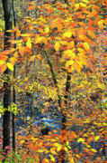 Mountain Stream Photo Posters - Beech Leaves Birch River Poster by Thomas R Fletcher